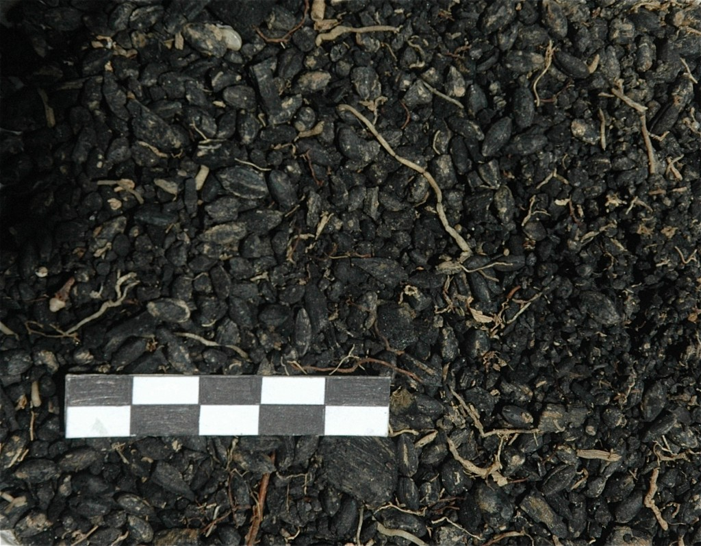 Figure 7: A tiny fraction of the carbonized seed deposit from one of the two storerooms.